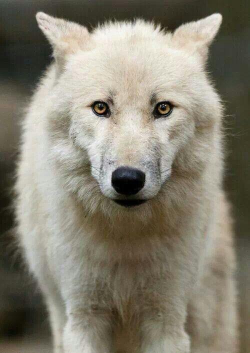 .Arctic White Wolf
