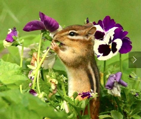 Eastern Chipmunk (Tamias striatus) nibbling on Viola