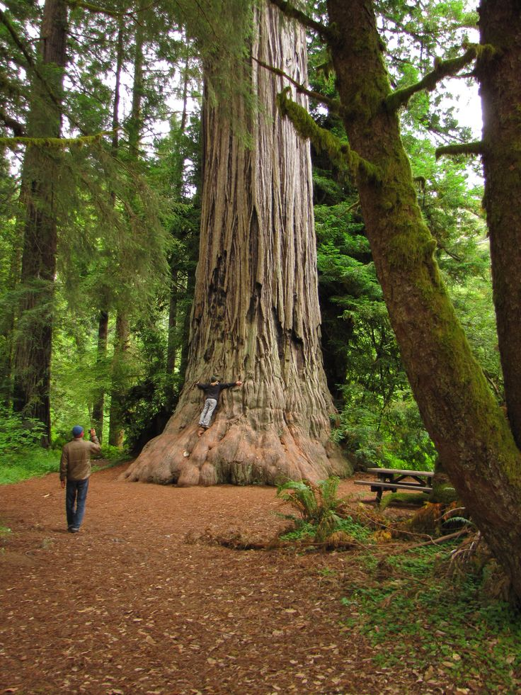 Hug a redwood the tallest trees in the world in redwood for Cheap cabin deals in sequoia