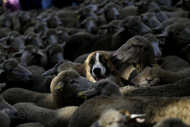 A shepherd dog stands among sheep led by shepherds through Madrid city centre, Spain, Sunday, October 25, 2015. (Photo by Daniel Ochoa de Olza/AP Photo)