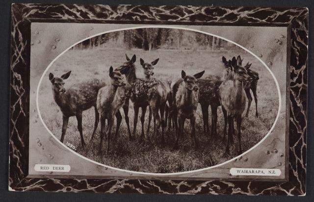 Object: Red Deer, Wairarapa, New Zealand   Collections Online - Museum of New Zealand Te Papa Tongarewa