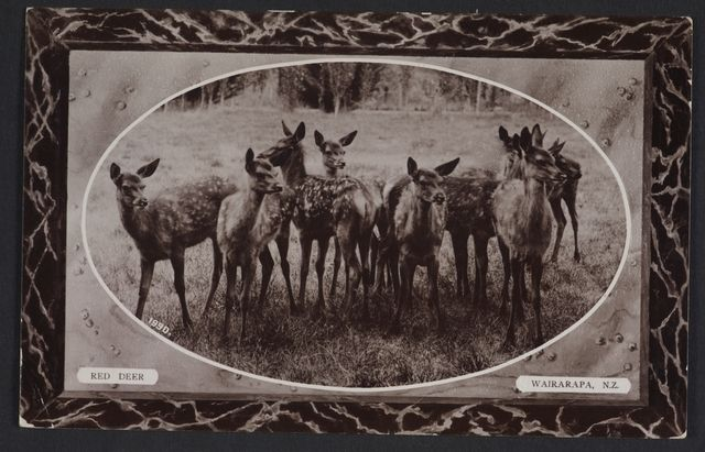 Object: Red Deer, Wairarapa, New Zealand | Collections Online - Museum of New Zealand Te Papa Tongarewa