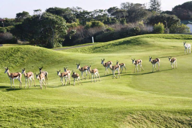 Resident herd of springbok at Mossel Bay Golf Estate