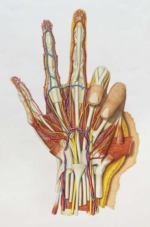 фото кистей рук анатомия торта идет