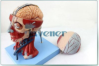 Human Anatomica Muscles Of Head And Neck Anatomy Medical Model Blood Vessels