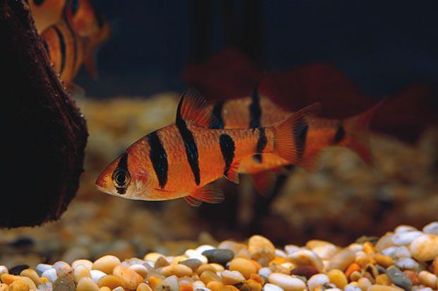 Puntius pentazona - Hexazon Barb Fresh Fish! Pinterest