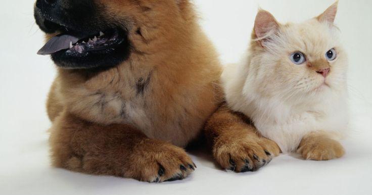 Sintomas da acidose metabólica veterinária. A acidose metabólica (às vezes chamada de acidose metabólica hiperclorêmica ou acidose tubular renal) é uma doença que pode afetar tanto cães quanto gatos, e resulta de uma insuficiência renal crônica, uma condição na qual os rins do seu animal ficam cada vez menos funcionais com o passar do tempo. Existem dois tipos de acidose metabólica, ...