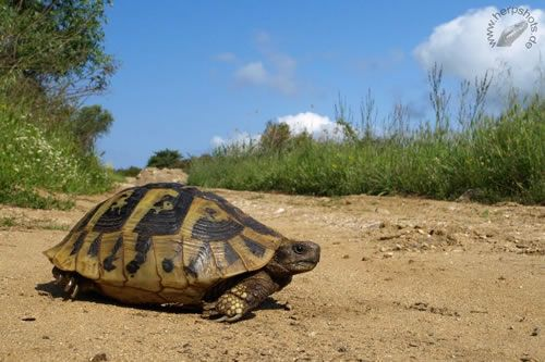Mediterrane Landschildkröten