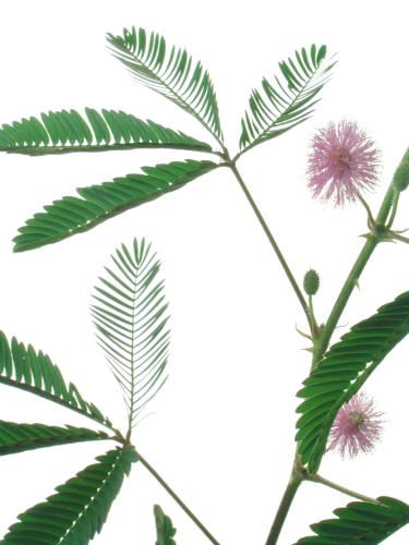 Mimosa pudica - Native to Central and South America - The delicate leaflets fold inward when disturbed only to reopen shortly later. The vibrant pink flowers have many showy stamen.