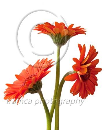 Trippel of gardenia  framcaphotography.com