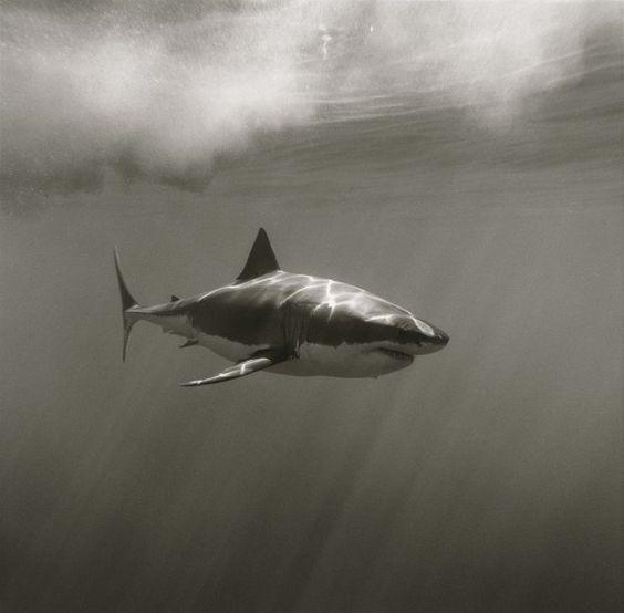 Shark Carcaradon By Greg Williams © 2013 Greg Williams Insight.