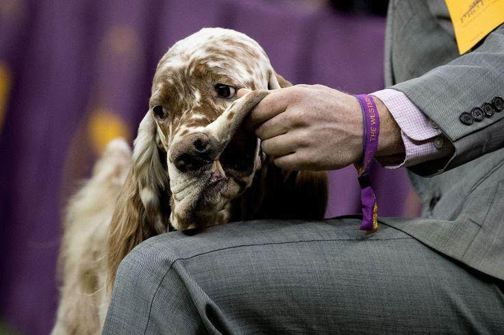 11 Hilarious Photos From The Westminster Dog Show  - CountryLiving.com