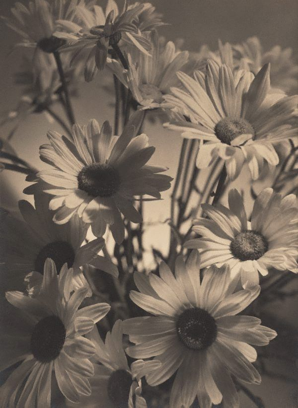 Shasta daisies, (1937) by Olive Cotton  (Australia, 1911 - 2003)In Dupain's studio after hours, Cotton experimented with light and shadow, and worked on her exhibition photographs, including Shasta daisies (1937) and The Budapest String Quartet (1937). Both were exhibited in the Victorian Salon of Photography's 1937 International Camera Pictures