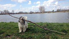 PON Cally (Lutz IGIEL lugfoto.net) Tags: dog dogs tiere hessen sheepdog hund deu hunde pon htehunde polishlowlandsheepdog htehund poliskiowczareknizinny