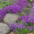 Aubrieta seeds quickly grow into a low-growing ground cover plants that spreads up to 24 inches.