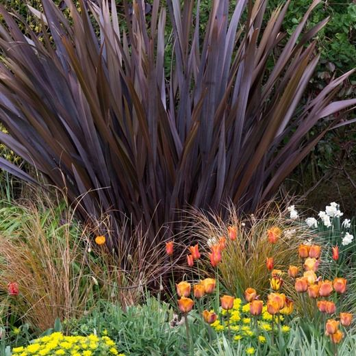 Spring Combination Ideas, Bulb Combinations, Plant Combinations, Flowerbeds Ideas, Spring Borders, Summer Borders, Fall Borders, Euphorbia Polychroma, Cushion Spurge, Phormium, New Zealand Flax, Carex testacea, Sedge, Tulip Ballerina, tulip Cairo