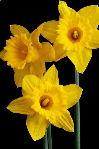 Perfect yellow daffodils, thought to bring love, luck, and fertility.