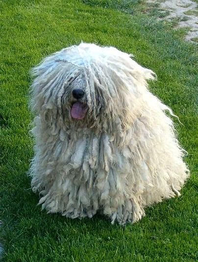 Puli dog photo | Today, the versatile Puli dogs can be seen in show ring, as well as in ...