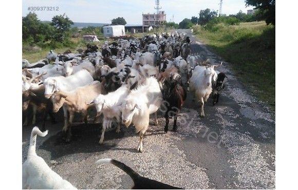 100 adet anaç keçi 100 oğlak 20 burma cepis 5teke keçiler maltiz ve Zana kırması.   200 adet ot balyesi ve 3 adet kangal kirmasi kopek hediyee  Tlfonda pazarlık yapmayın gel gör sonra konusalm  Çek senet için aramayin traktör yada araba varsa fiyattn düşerim