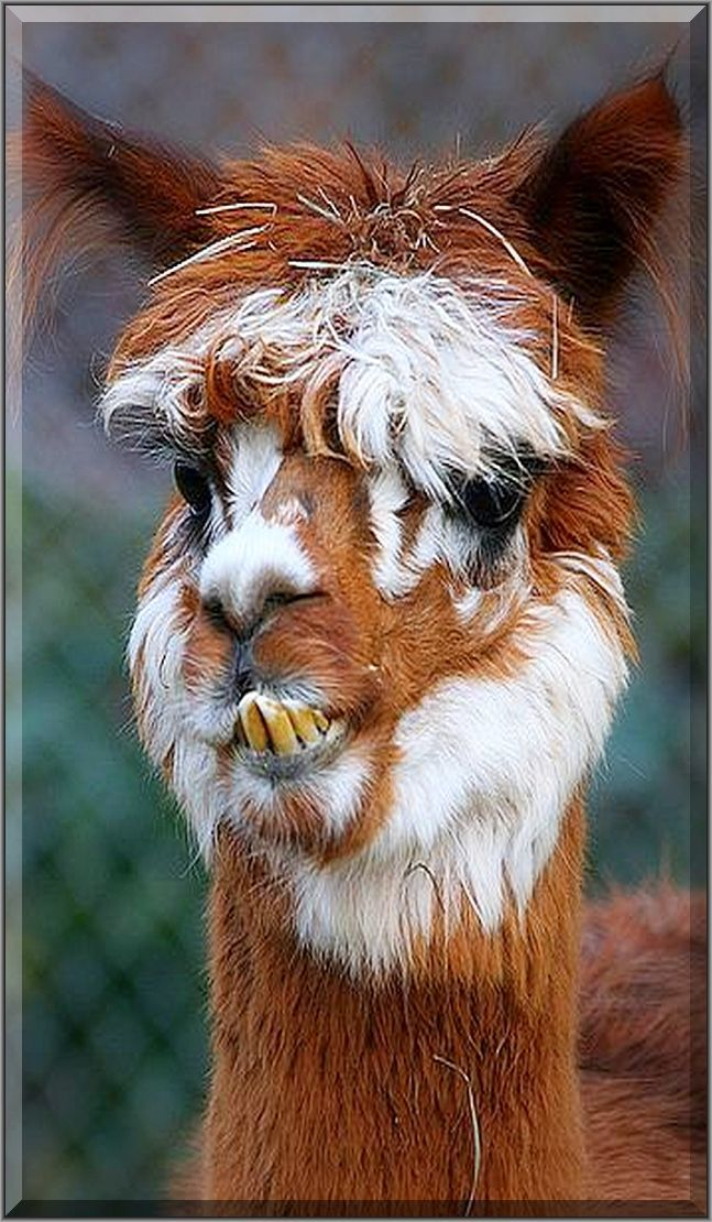Best Alpaca Poses Images On Pinterest Alpacas Montana And Camels - 22 hilarious alpaca hairstyles