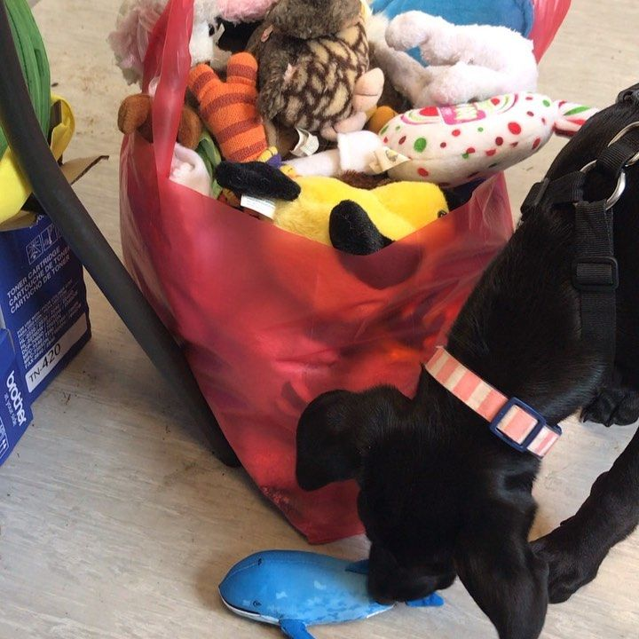 Hadley Takes Her Job As Toy Inspector Very Seriously Throwbackfriday Dogtoys Adoptdontshop Blacklab Labmixpuppy Dogs With Jobs Lab Mix Puppies Dog Toys