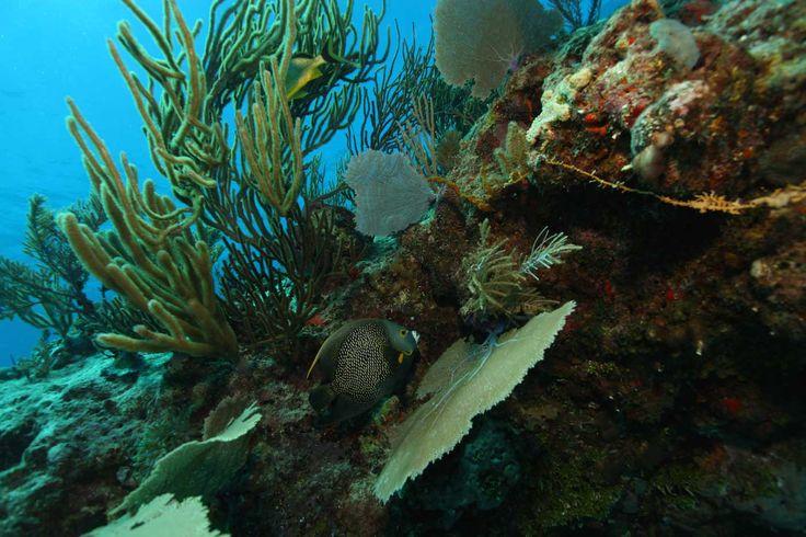"""LA DOMINIQUE - un coin de paradis aux Antilles pour les plongeurs amateurs de faunes et flores préservées ! La """"réserve marine naturelle"""" de la région de la Soufrière/Scott's Head abrite de nombreuses espèces tels que les hippocampes, poissons-crapauds, murènes, corail noir."""