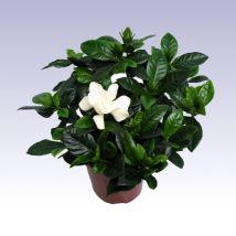 Gardénia, galléros jázmin, Gardenia 25 cm magas 14cs