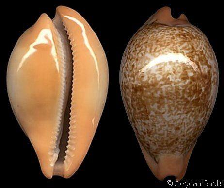 cypraea langfordi moretonensis -