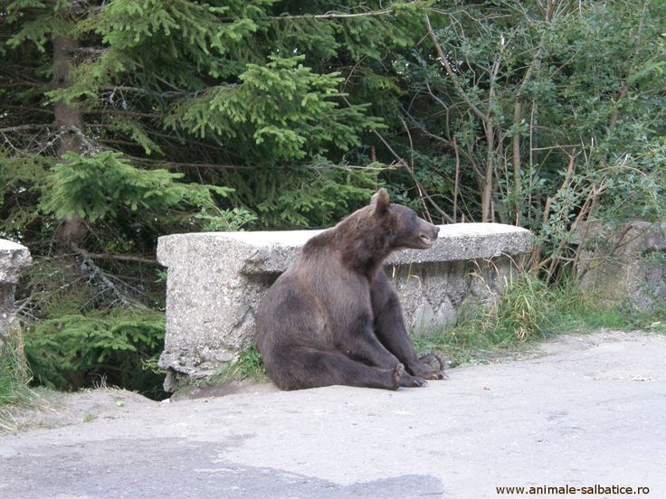 brown bear maybe, just chillin