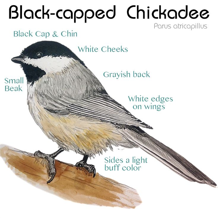 Chickadees And Other Birds That Store Food