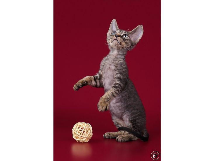 Продам котят девон-рекс