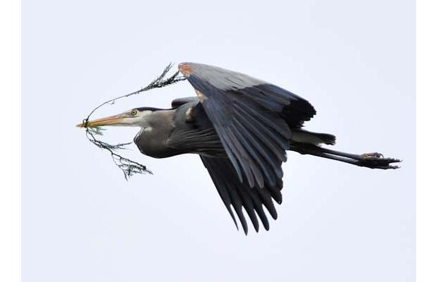 Great Blue Heron flying to his nest in Stanley Park, British Columbia.
