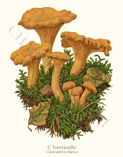 'Chanterelle' restored antique mushroom illustration - via Charting Nature
