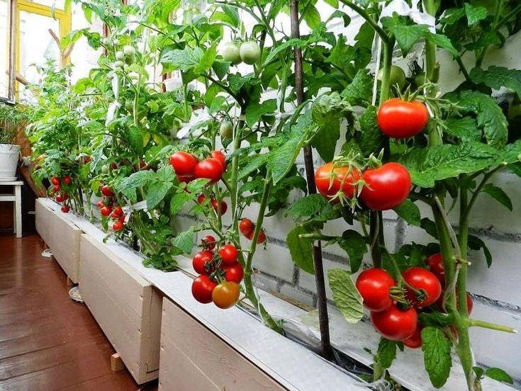 Potager de balcon réussi ou comment cultiver des légumes