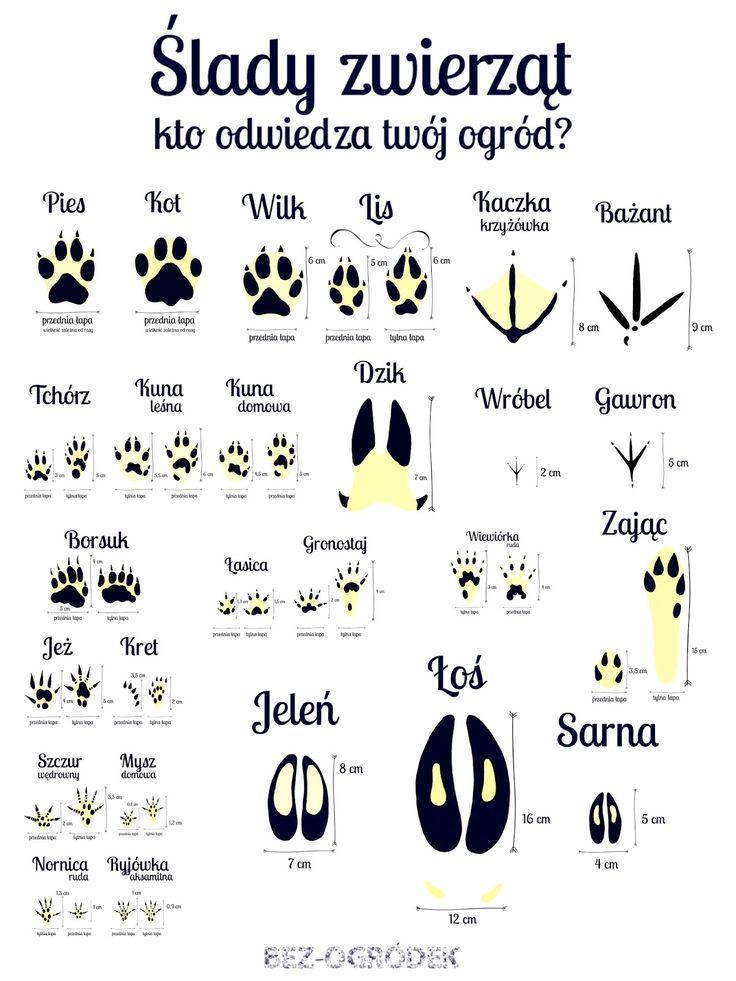 ślady zwierząt leśnych