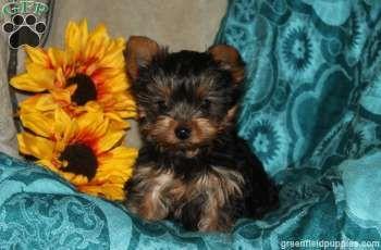 Lyle - Yorkie puppy #greenfieldpuppies #yorkie