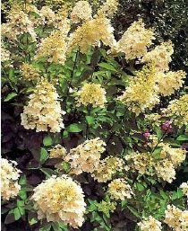 Hydrangea paniculata Unique