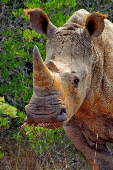 South African rhino, amazing!