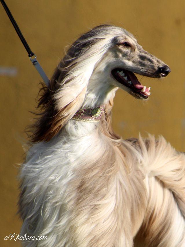 Best 25 Afghan Hound Ideas On Pinterest Long Hair Comb