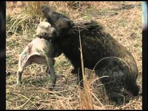 Presa Canario Pit Bull | Dogo Argentino Vs Puma - VidoEmo - Emotional Video Unity