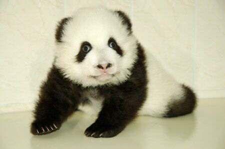 Fotografia oso panda bebe  [28-5-17]