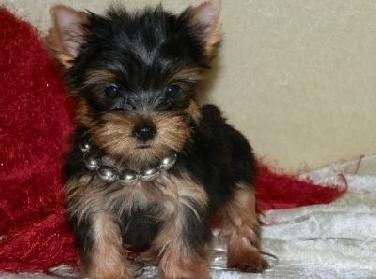Regalo cachorros toy  de  mini p... - Mascotas Gratis