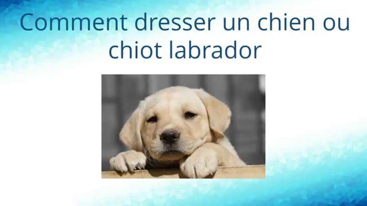 Les 25 meilleures idées concernant Chiots Labradors sur