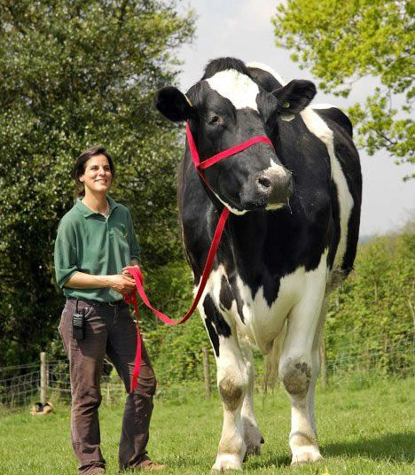 """Chilli, the world's largest bull at 6ft. 6"""". He resides in a animal sanctuary in Brittan."""