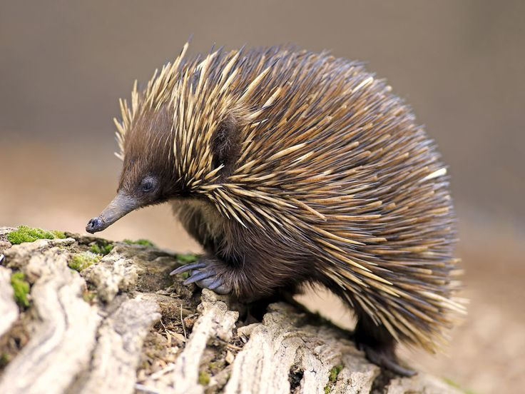 Absurd Creature of the Week: Forget the Platypus. The Echidna Is the True Champ of Weird