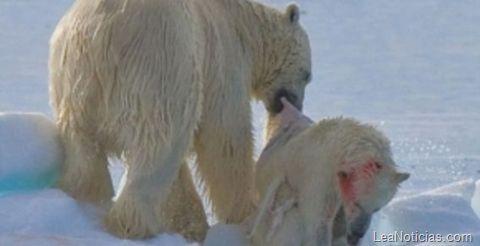 Calentamiento global genera casos de canibalismo entre osos polares - http://www.leanoticias.com/2011/12/12/calentamiento-global-genera-casos-de-canibalismo-entre-osos-polares/