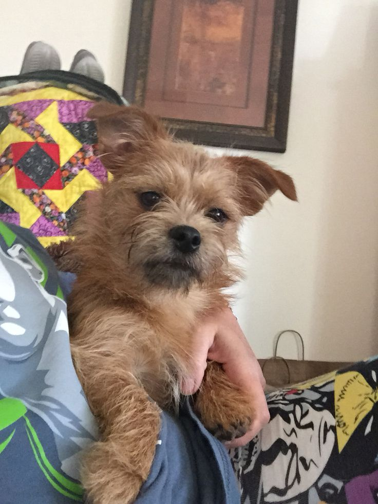 9 best molly images on pinterest brussels griffon doggies and dogs roscoe the shiffon dog solutioingenieria Image collections