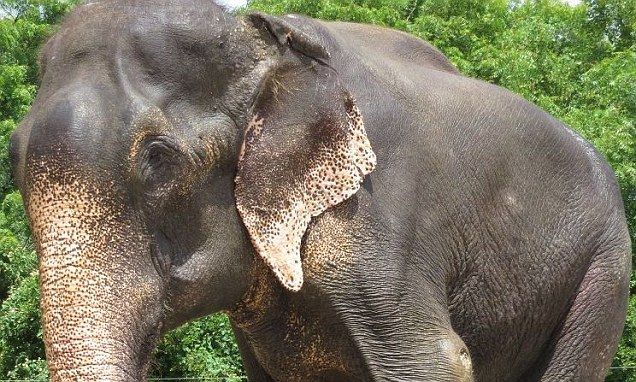 Raju the crying elephant faces life back in chains after cruel former owners launch legal battle to win him back