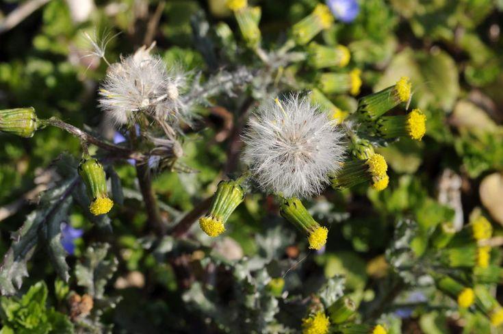 Senecio volgare (Senecio vulgaris)