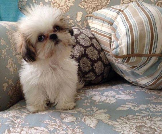 Lucy 14 Weeks Adorable Shihtzu Cute Little Dogs Shitzu
